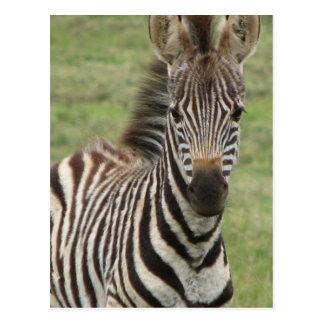Cartão da zebra do bebê