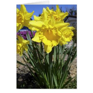 Cartão Daffodils do primavera
