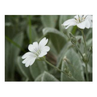 Cartão das flores brancas, domínio de Auckland Cartão Postal