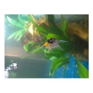 Cartão de água doce do Angelfish