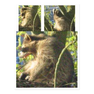 Cartão de bocejo do guaxinim