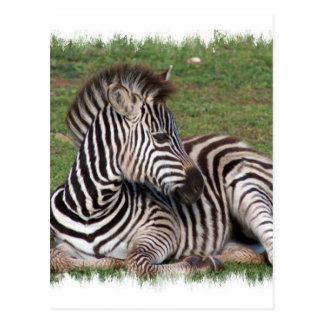 Cartão de descanso da zebra