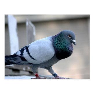 Cartão de direcção orgulhoso do pombo