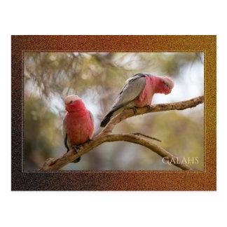 Cartão de Galahs do australiano