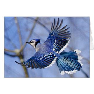 Cartão de Jay azul em vôo