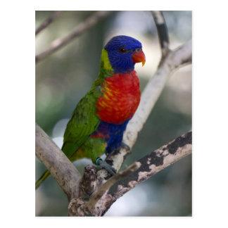 Cartão de Lorikeet do arco-íris