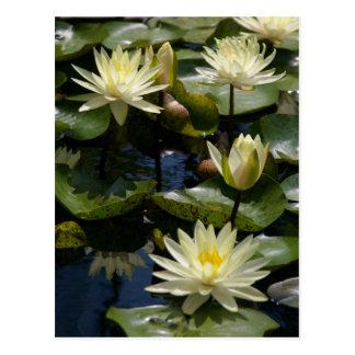 Cartão de Lotus branco Waterlilies