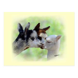 Cartão de três alpacas