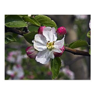 Cartão de Winchester VA de 03 flores de Apple