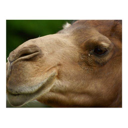 Cartão do camelo cartao postal