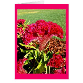Cartão do Celosia do rosa quente