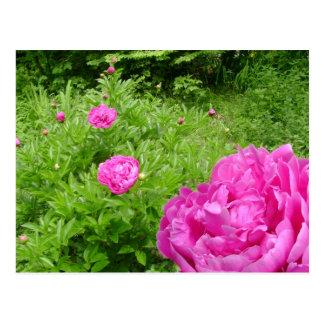 Cartão do jardim da peônia do rosa quente