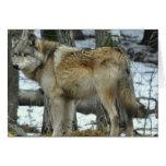 Cartão do lobo cinzento