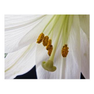 Cartão do macro da flor do lírio