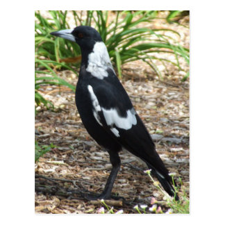 Cartão do Magpie australiano