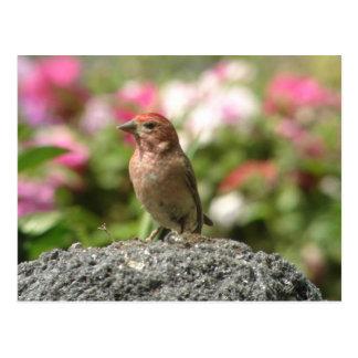 Cartão do passarinho de Cassin