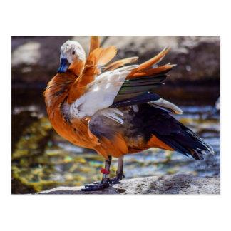 Cartão do pato de mandarino
