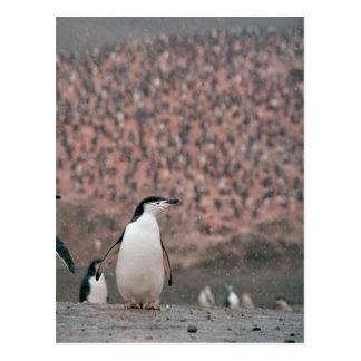 Cartão do pinguim de Chinstrap
