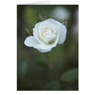 Cartão do rosa branco