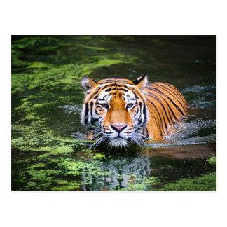 Cartão do tigre