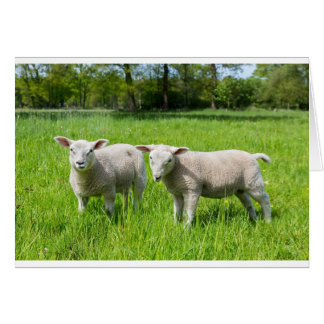 Cartão Dois carneiros holandeses brancos no prado verde
