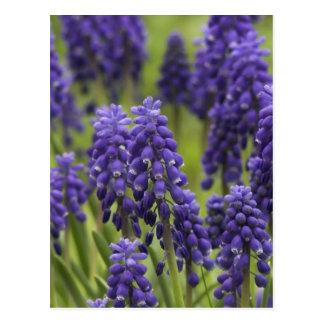 Cartão dos bulbos do jacinto de uva