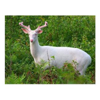 Cartão dos cervos de Whitetail do albino