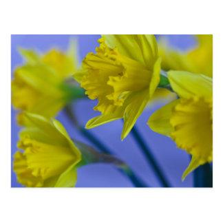 Cartão dos Daffodils Cartão Postal