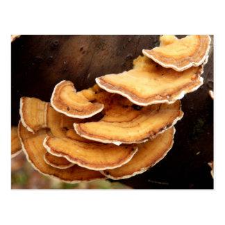 Cartão dos fungos de Stereum Hirsutum