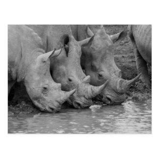 Cartão dos Rhinos do bebendo