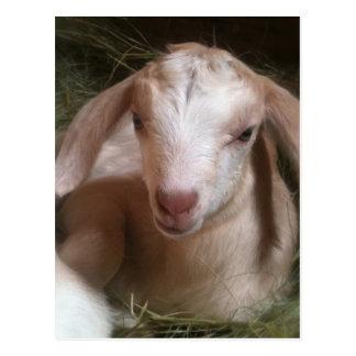Cartão dourado recém-nascido do miúdo da cabra cartões postais
