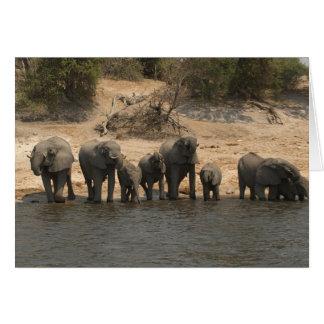 Cartão Elefantes que bebem do rio de Chobe