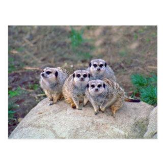 Cartão espreitando de 4 Meerkats