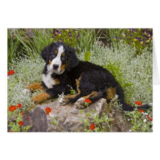 Cartão EUA, Colorado, Breckenridge. Bernese fêmea