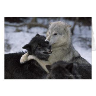 Cartão EUA, Montana, lobos que jogam na neve