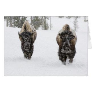 Cartão EUA, WY, Yellowstone NP, bisonte americano