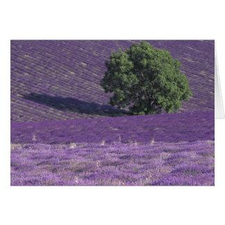 Cartão Europa, France, Provence, Sault, lavanda coloca