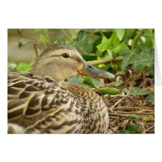 Cartão fêmea do pato do pato selvagem