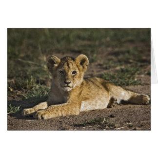 Cartão Filhote de leão, Panthera leo, encontrando-se em