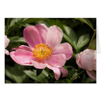 Cartão Flor cor-de-rosa da peônia inteiramente aberta