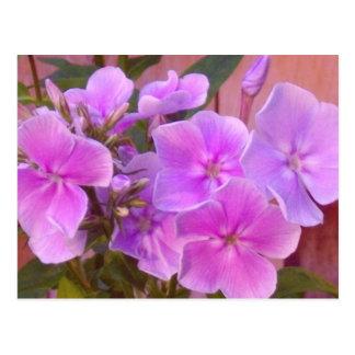 Cartão floral do Phlox