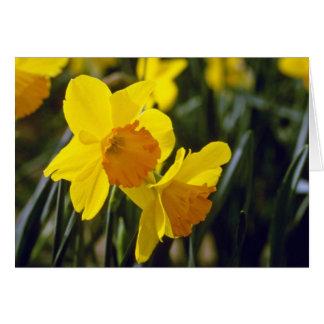 Cartão flores amarelas dos Daffodils