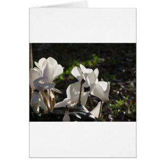 Cartão Flores brancas do cyclamen de Backlits no fundo