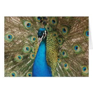 Cartão Foto do pavão bonito com penas espalhadas