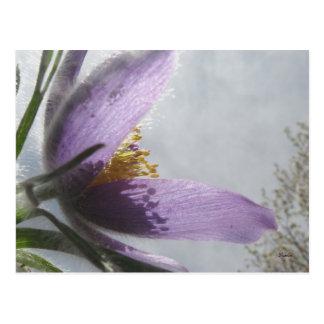 Cartão - fotografia da flor de Pasque da lavanda