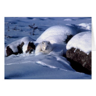 Cartão Fox ártico americano