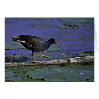 Cartão Galinha-d'água comum em animais selvagens