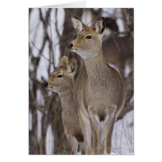 Cartão Gama dos cervos de Sika e novo, Hokkaido, Japão