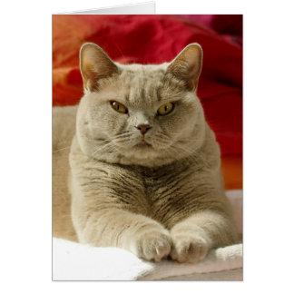 Cartão Gato britânico do shorthair do Lilac
