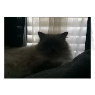 Cartão Gato de Ragdoll - observador no crepúsculo